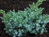 01-juniperus__squamata__blue__star