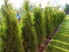 04-thuja_occidentalis_smaragd