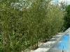07-Bambus_jako_ziva_stena_u_bazenu