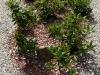 11-Vytvoreny_zahon_z_Rhododendronu