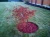 04-Acer_japonicum,Aconitifolium