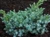 01-juniperus__squamata__blue__star