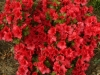 02-azalea_japonica