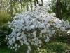 03-magnolia_stellata