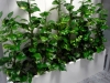 02-philodendron_scandens