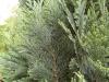 05-chamaecyparis_lawsoniana_columnaris_glauca