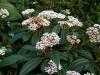 01-viburnum_rhytidophyllum